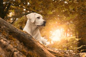 Labrador dans les bois en automne